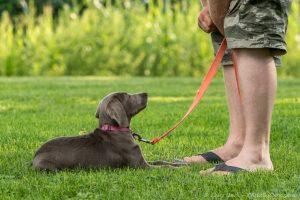 Dog Obedience Southtown K9 Illinois